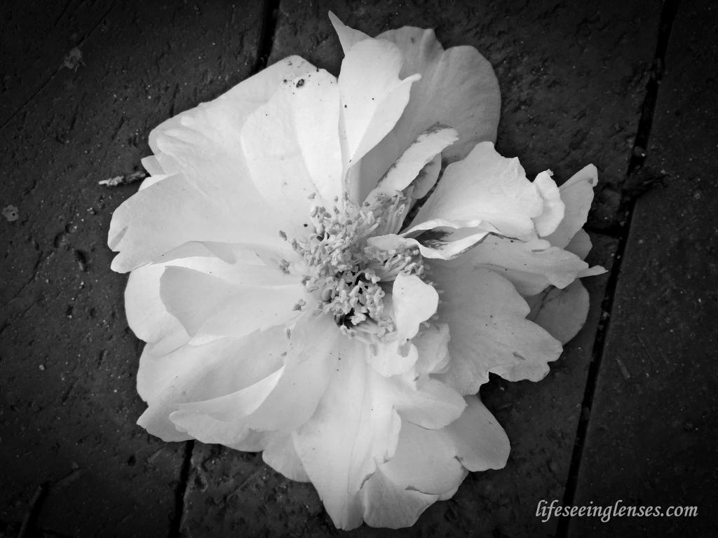 flower1markedbw.JPG