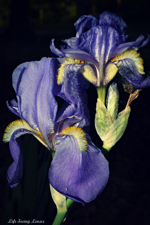 purpleiris4Amarked.JPG
