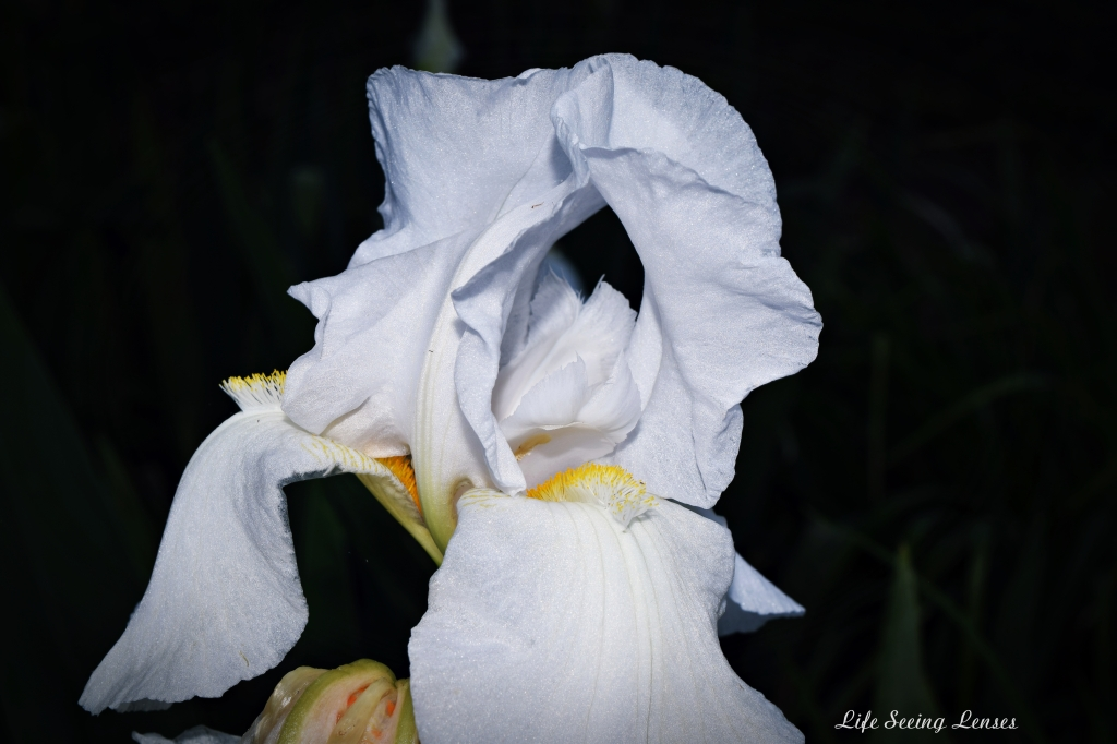 whiteiris3Bmarked.JPG