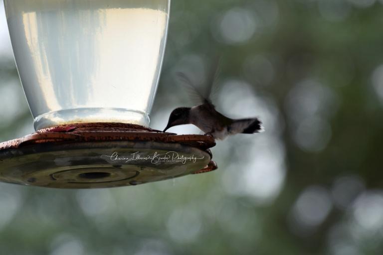 hummingbird10Amarked.JPG