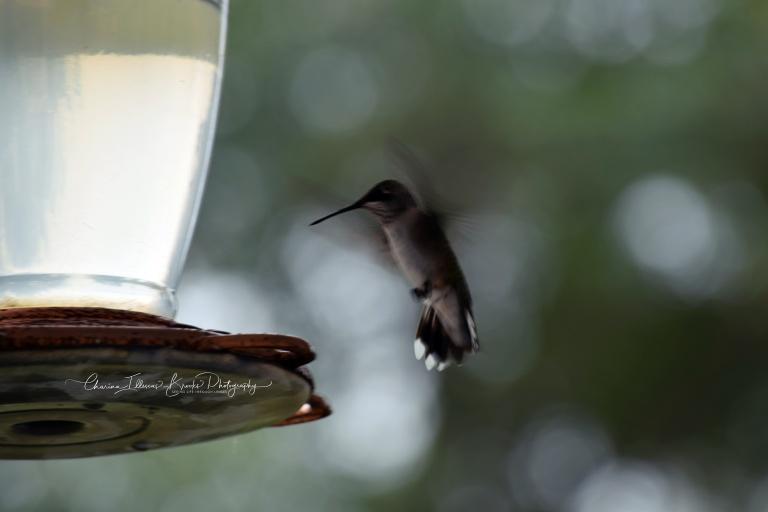 hummingbird11Amarked