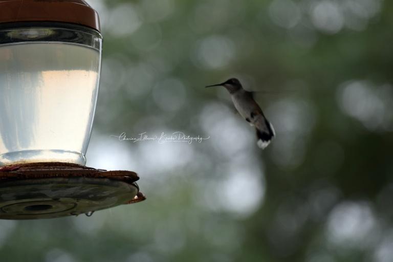 hummingbird2marked