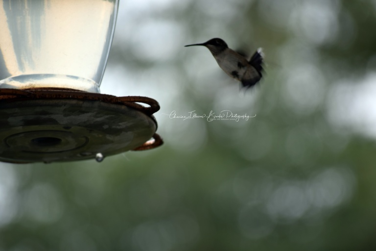 hummingbird4marked